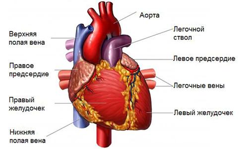 Аномалия чаще всего выявляется в желудочке