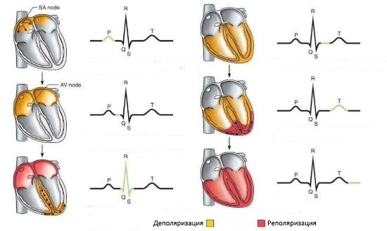 Нарушение процессов реполяризации в миокарде: причины и симптомы