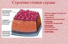 Зная строение и функции сердца можно вовремя обнаружить многие недуги