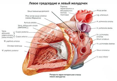 chto-takoe-lozhnaya-horda-levogo-zheludochka