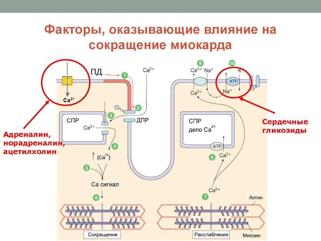 chto-takoe-sokratitelnaya-sposobnost-miokarda